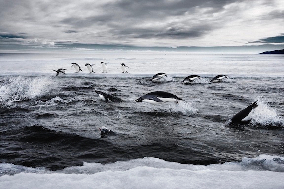 Ross Sea penguins