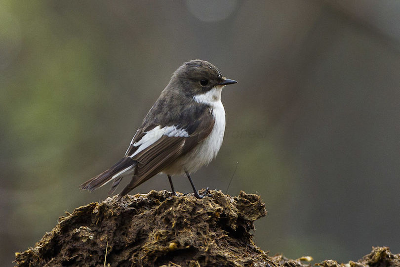 Photo of European pied flycatcher