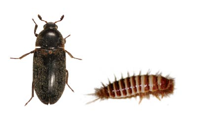 Demestid beetle and larva