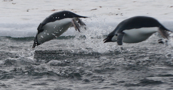 Penguins leaping out of the water during a feeding bout (Photo by Mary Miller/Exploratorium)