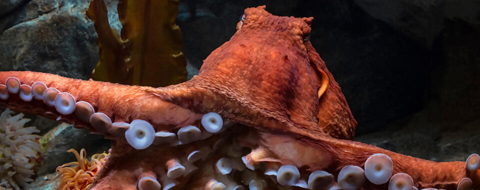 Photo of a reddish orange octopus showing its underside, with purplish suction cups on its legs