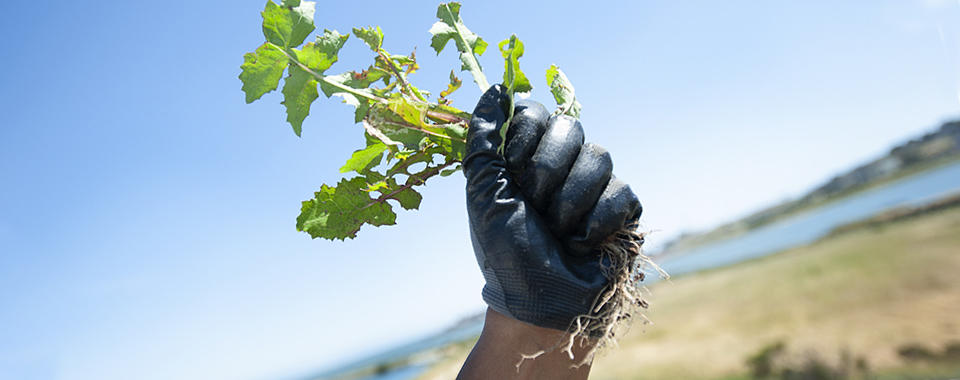 Photo of a hand wearing a black glove, making a fist, holding a plant with the roots hanging down