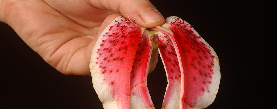 Photo of a hand holding a dark pink orchid