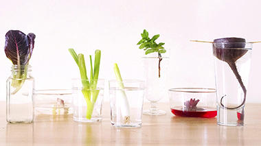 Science activity to bring vegetable scraps back to life