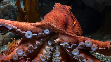 A photo of a reddish-orange octopus showing its underside, with purplish suction cups on its legs