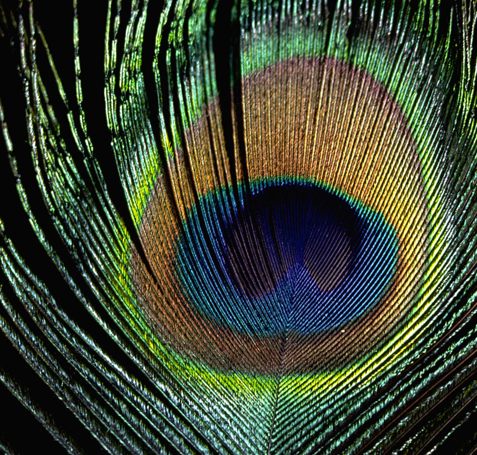 interference colors in a peacock feather